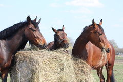 Horse herd eating hay Stock Photography