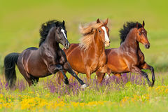 Horse herd in flowers. Horses run gallop in flower meadow Royalty Free Stock Photo