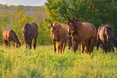 Horse herd grazing Stock Photo