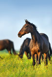 Horse herd grazing Royalty Free Stock Images