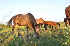 Horse herd in green field Royalty Free Stock Photography