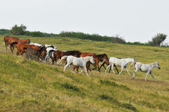 Horse Herd on Hill. White, red and bay Royalty Free Stock Images