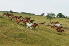 Horse Herd on Hill. White, red and bay Royalty Free Stock Image