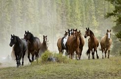 Horse Herd on Hill. Horse herd preparing to gallop over hill royalty free stock photo