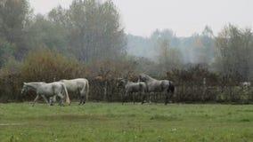 Horse Herd stock video