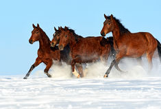 Horse. Herd of horses running through a snowy field gallop Stock Images