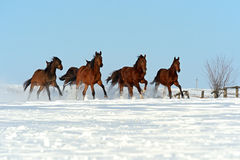 Horse. Herd of horses running through a snowy field gallop Royalty Free Stock Photography