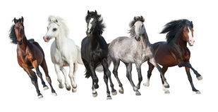 Horse herd  isolated. Horse herd run forward isolated on white background Royalty Free Stock Photography