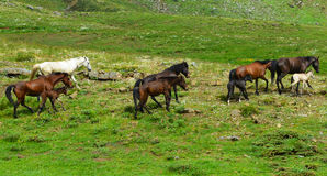 Horse herd in mountain areas. NGalloping horses.nwild horses royalty free stock image