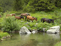 Horse Herd by Mountain River. Summer day, horse herd by Urdina River, Rila Mountain, Bulgaria Stock Images