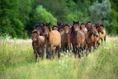 Horse herd move Stock Photos