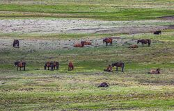 Horse Herd On Plateau Pasture Royalty Free Stock Image