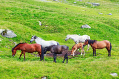 Horse herd on the pasture Stock Images