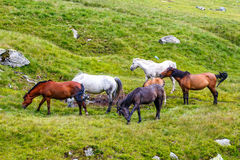 Horse herd on the pasture Royalty Free Stock Photos
