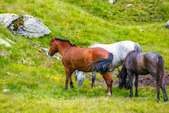 Horse herd on the pasture. In the mountains Stock Image