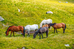 Horse herd on the pasture Royalty Free Stock Image