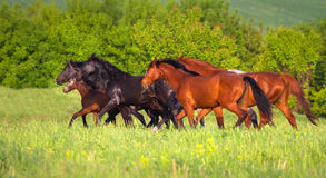 Horse herd on pasture royalty free stock photos