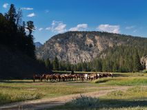 Horse herd on prairie. Scenic view of rounded up herd of horses on prairie with forested mountain in background, summer scene Stock Photos