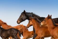 Horse herd run close up Stock Photography