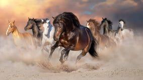 Horse herd run in desert royalty free stock image