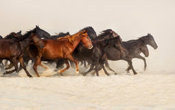 Horse herd run. In desert sand Royalty Free Stock Image