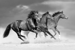 Horse herd run. In dust. Black and white Stock Photography