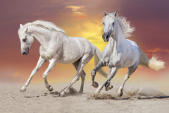 Horse herd run in dust Royalty Free Stock Images