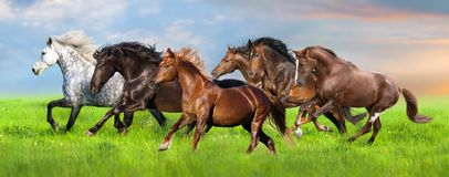 Horse run on pasture. Horse herd run fast in green field with blue sky stock photography