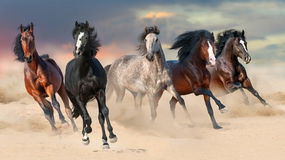 Horse herd run. Gallop on desert dust against beautiful sunset sky royalty free stock photos