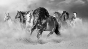 Horse herd run gallop. In desert dust against dramatic sky. Black and white stock photo