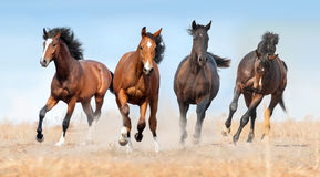 Horse herd run. Gallop with dust royalty free stock photo