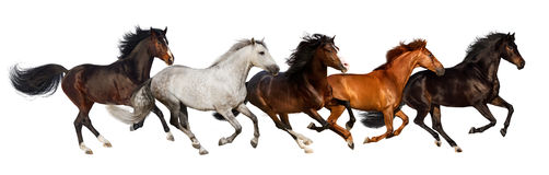 Horse herd run. Gallop isolated on white background Royalty Free Stock Photo
