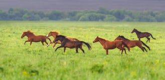 Horse herd run Royalty Free Stock Photo