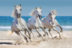 Horse herd  run in seashore. White andalusian horses run gallop against the ocean Royalty Free Stock Photo