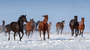 Horse herd run Stock Photo