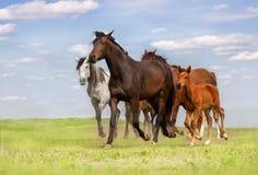 Horse herd run Royalty Free Stock Image