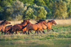 Horse herd run. On summer pasture royalty free stock photo