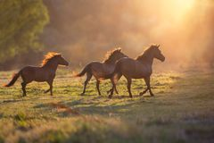 Horse herd run at dawn light Stock Image