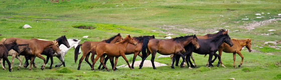 Horse Herd Running Royalty Free Stock Images