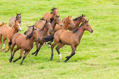 Horse herd running Royalty Free Stock Image