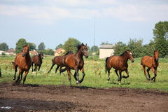 Horse herd running free at the field. In summer Royalty Free Stock Photo