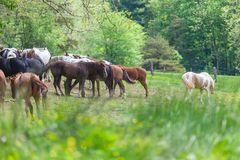 Horse herd stand on the meadow with yellow flower field in Great smoky mountains national park,Tennessee USA. Horse herd stand on the meadow with yellow flower stock photos