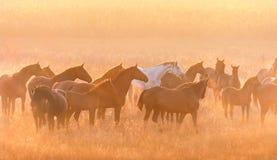 Horse herd sunrise royalty free stock photo