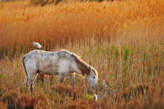 Horse and heron. White horse of the Camargue with a cattle egret on its back Royalty Free Stock Photo