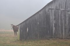 Horse hiding behind a barn in the fog. This Sunrise in Oklahoma while lost and looking for a restroom Stock Photos