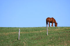 Horse on a Hill. A lone brown horse grazes near the fence posts in a pasture on a hill Royalty Free Stock Image