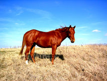 Horse on Hilltop. Flame red sorrel filly on hilltop in winter pasture against blue sky, north Texas royalty free stock photos