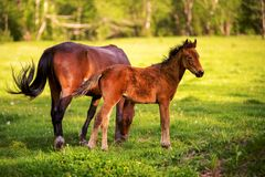 Mother horse with her foal grazing on a spring green pasture against a background of green forest in the setting sun. A horse with his foal grazes on a spring Stock Photo