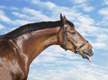 Horse his tongue out Royalty Free Stock Image