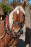 Horse hitched to a cart in alsatian village. Portrait of horse hitched to a cart in alsatian village Stock Photo